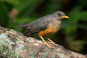 Olive thrush, Turdus olivaceus, Wilderness, South Africa