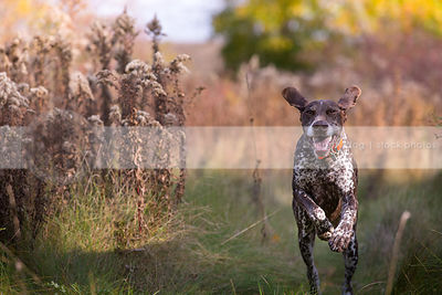 brown roan pointer dog with ears running on trail in meadow