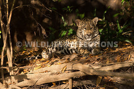 jaguar_forest_lighting-5