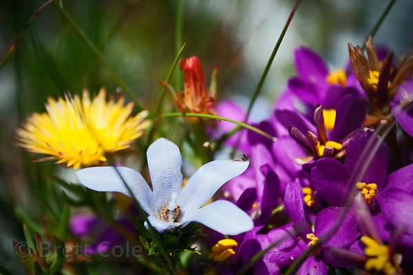 Wildflowers (sp.) in fynbos, Olifantsbos, Cape Peninsula, South Africa