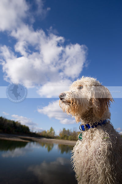 portrait of handsome wet curly coated dog posing at lake with sky and clouds