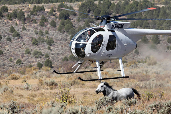 The wranglers cowboys capture mustangs with the help of a helicopter on the Magnolia Bench plateau near the town of Meeker, C...