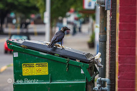 American Crow Enjoying a Fast Food Meal in Portland's Pearl District