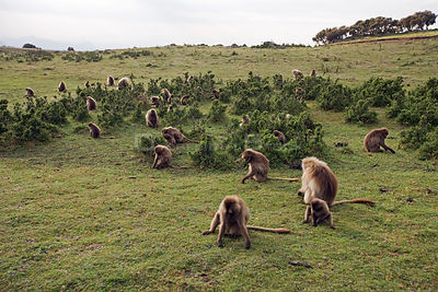 Gelada baboon (Theropithecus gelada) group grazing on grass, Simien Mountains National Park, Ethiopia, November