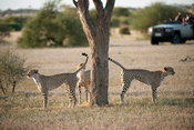 Tourists watching Cheetah on safari (Acinonyx jubatus), Mashatu Game Reserve, tuli block, Botswana