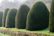 Clipped yews in the Canal Garden. Mapperton, Dorset