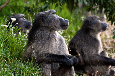 Alpha male chacma baboons on alert as another troop approaches, Cape Peninsula, South Africa