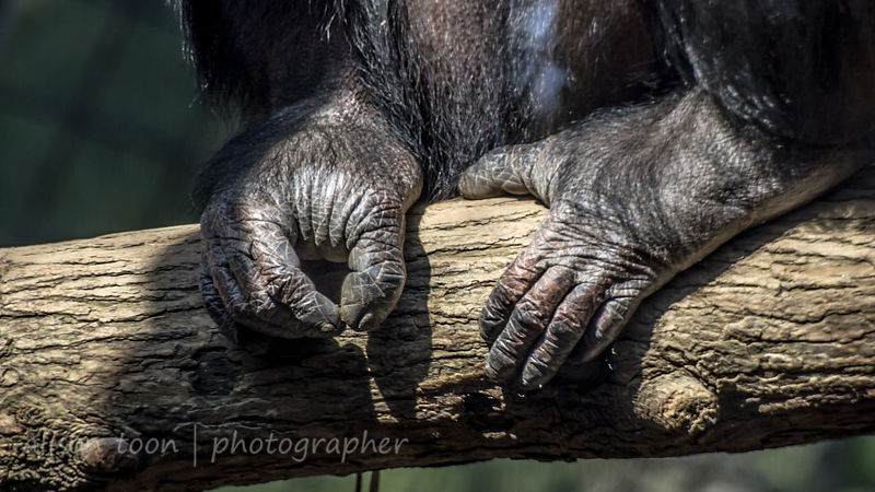 Hands for feet, chimpanzee