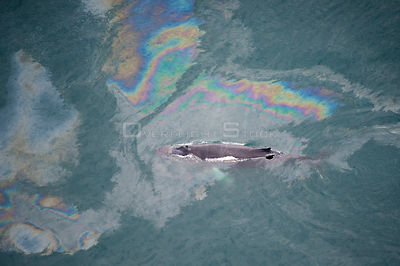 Aerial view of Humpback whale (Megaptera novaeangliae) swimming through oil slick, Skjalfandi Bay, Northern Iceland, July 2009