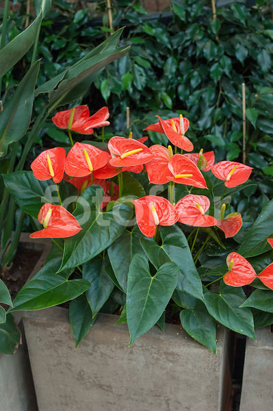 Anthurium andreanum, orange