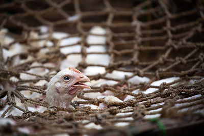 Chickens await slaughter in a large handmade basket with macrame rope webbing, Newmarket, Kolkata, India.