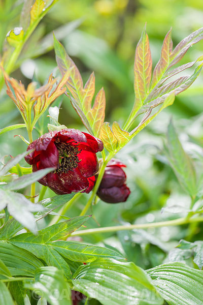 Paeonia delavayi. Windy Hall, Windermere, Cumbria, UK