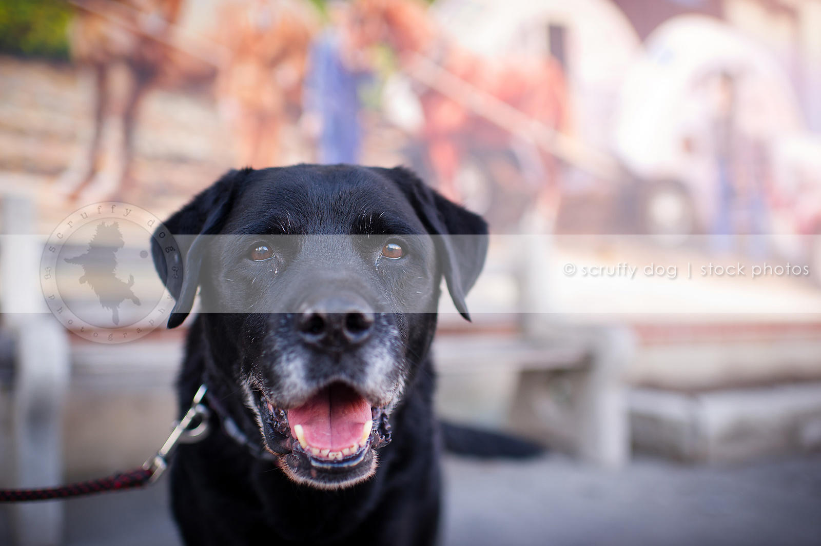 headshot of old black lab dog near urban mural with bokeh background