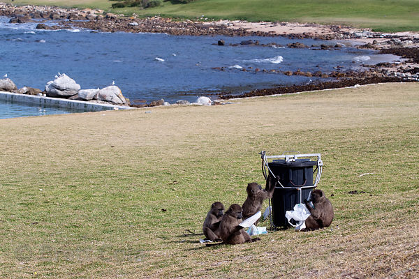 Chacma baboons from the Buffels Bay troop pull garbage from a supposedly baboon-proof trash can, Buffels Bay, Cape Peninsula,...