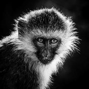 06399-Portrait_of_little_vervet_Tanzania_2018_Laurent_Baheux