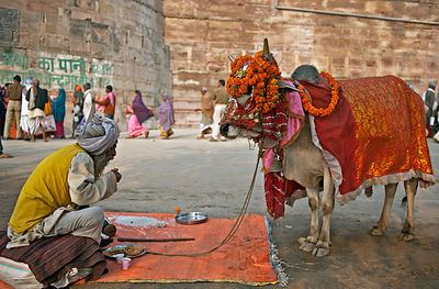 Feeding a cow is considered auspicious in the Indian culture. In this photograph a man eats while waiting for people to feed ...
