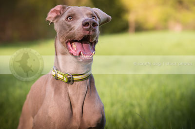 excited grey dog with flipped ear with minimal background