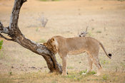 Lion rubbing against a tree (Panthero leo), Mashatu Game Reserve, tuli block, Botswana