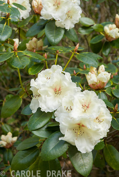Rhododendron 'Rothenburg'. Marwood Hill Gardens, Barnstaple, Devon, UK
