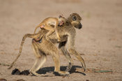 Yellow baboon carrying a baby, Papio cynocephalus, Selous Game Reserve, Tanzania