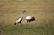 Grey crowned crane (Balearica regulorum) fighting, Maasai Mara National Reserve, Kenya