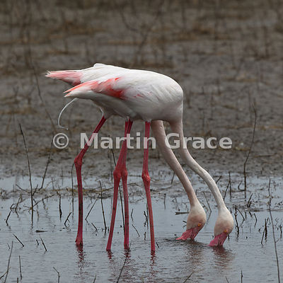 Greater Flamingo (Phoenicopterus ruber) defaecating while feeding in the endorheic Fuente de Piedra lagoon, Andalucia, Spain