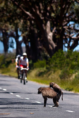 Two baboons from the Plateau Road troop mate in the middle of Plateau Road near approaching bicyclists, Cape Peninsula, South...