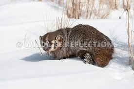 badger_snow_portrait_08