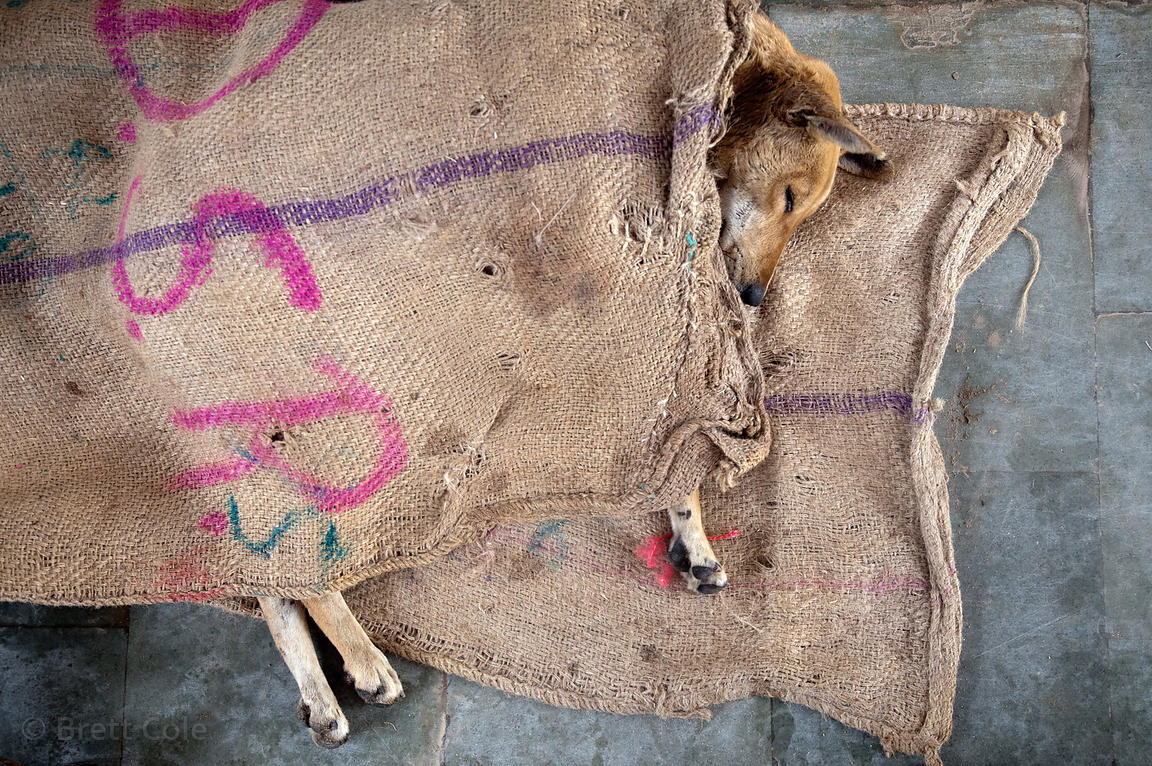 A parlayzed dog at the Tree of Life for Animals rescue center in Pushkar, India. Countless dogs are killed or gravely injured...