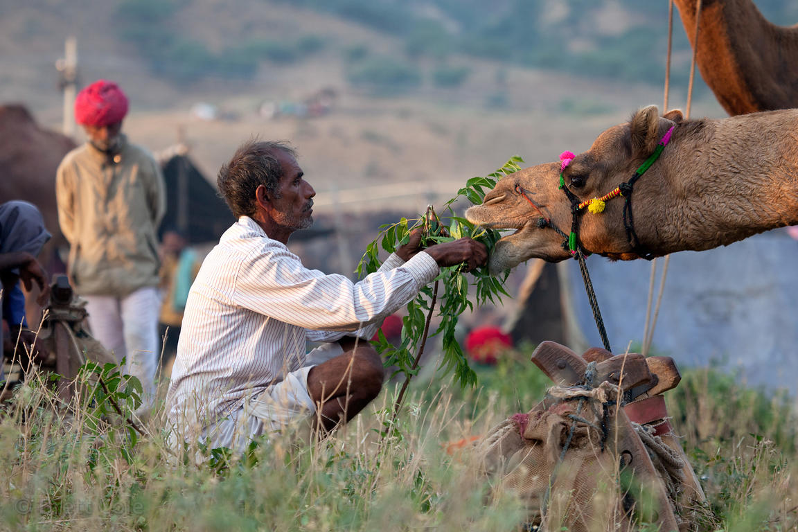 Camel herder feeding his camels, Pushkar, Rajasthan, India