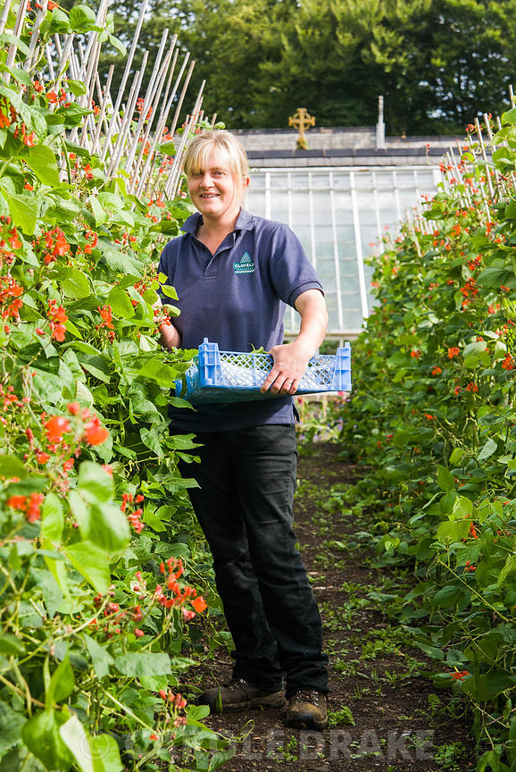 Heather Alford, head gardener, harvesting runner beans for sale. Clovelly Court, Bideford, Devon, UK