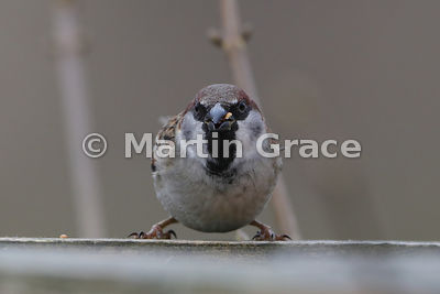 Hybrid between a House Sparrow (Passer domesticus) and a Eurasian Tree Sparrow (Passer montanus) to give Passer domesticus x ...