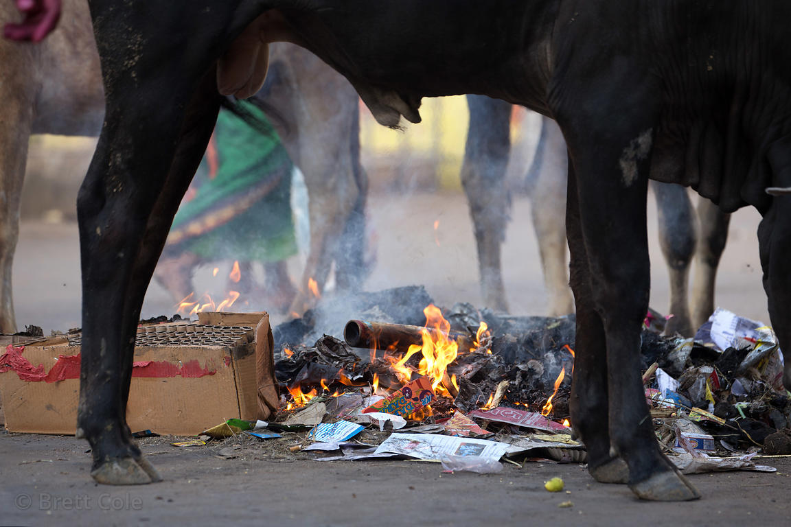 A cow rummages through flaming garbage, Pushkar, Rajasthan, India