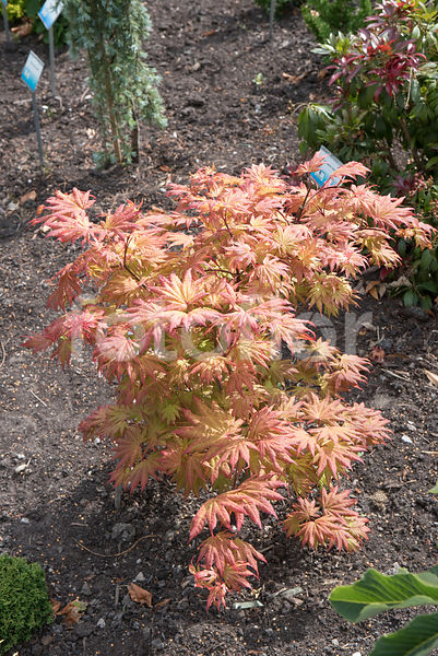 Acer shirasawanum 'Autumn Moon', érable du Japon, orange