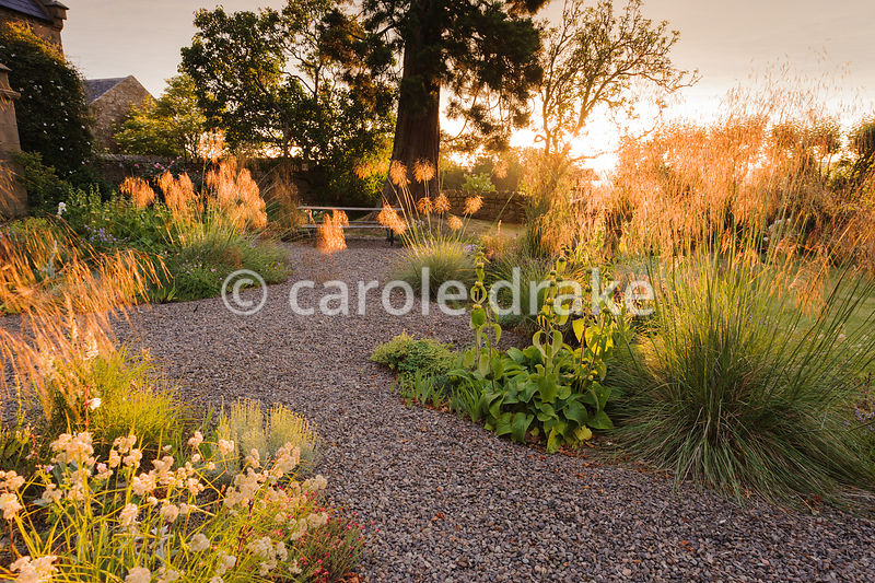 Gravel garden with Stipa gigantea and Luzula nivea catching the early morning sun, with antirrhinums, evening primrose and Ph...