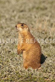 utahprairiedog_at_attention