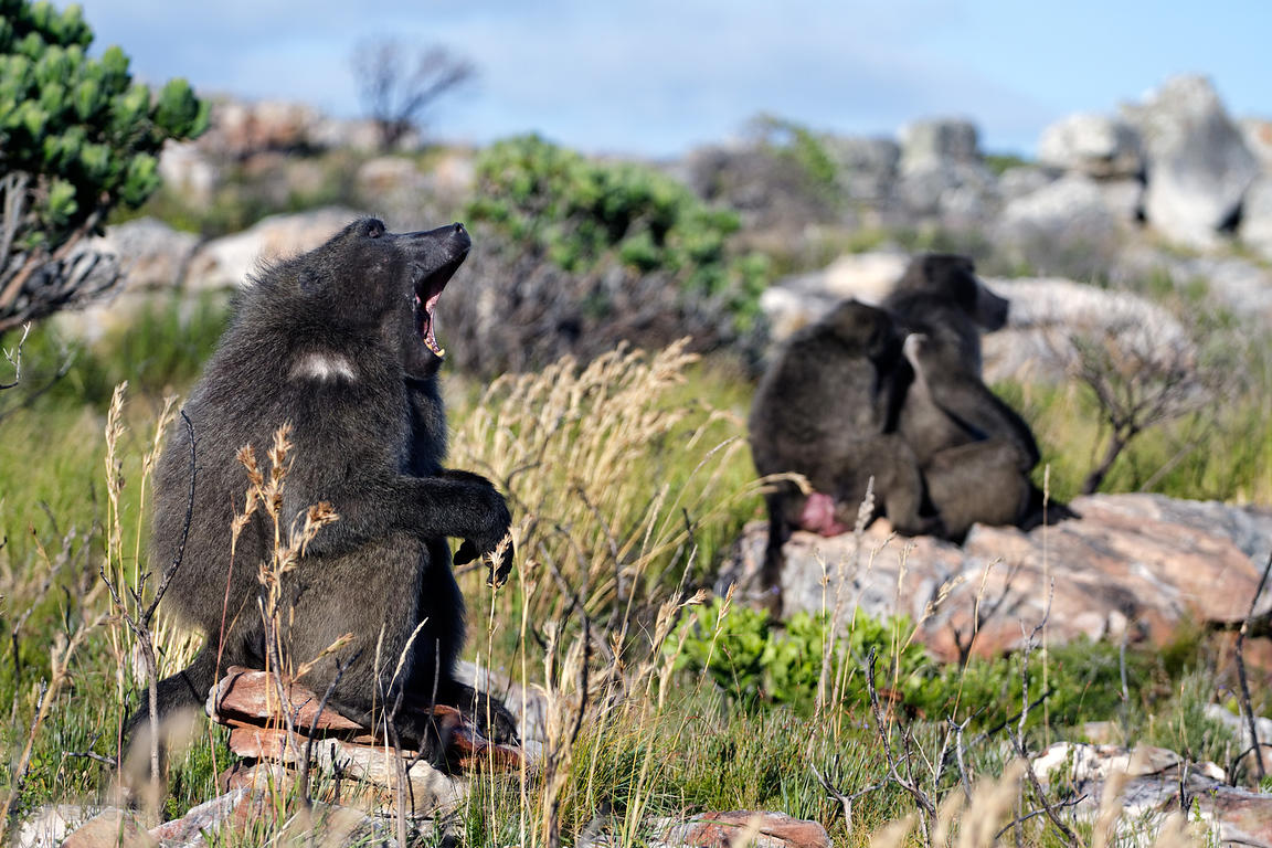 Chacma baboons from the De Gama Park troop forage in the Slangkop area of Table Mtn. National Park, Cape Peninsula, South Africa