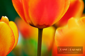 Tulip meadow (tulipa)  - Europe, Germany, Bavaria, Upper Bavaria, Munich - digital