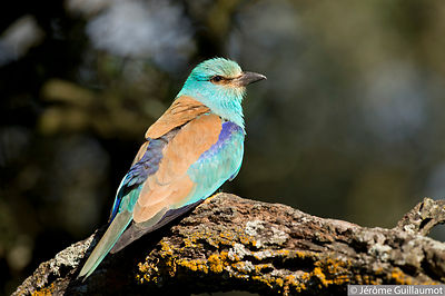 European Roller colony monitoring and photos(Coracias Garrulus) - Hide photo session