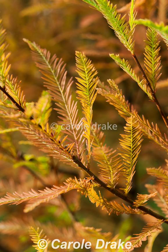 Orange and yellow tones of Metasequoia glyptostroboides, the dawn redwood. The Cors, Laugharne, Camarthenshire, Wales, UK