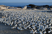 Cape Gannet Colony, Sula capensis, Lambert's Bay, Western Cape, South Africa