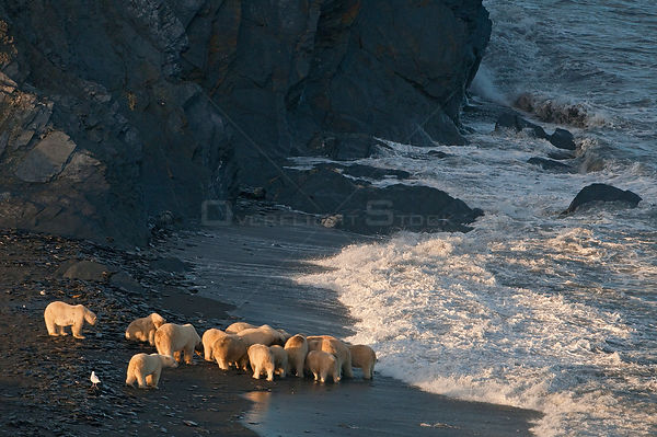 Polar bear (Ursus maritimus) group feeding on carcass on beach, Wrangel Island, Far Eastern Russia, September.