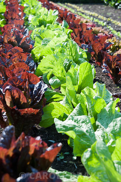 Neat lines of lettuces in the walled kitchen garden, including dark red lettuce 'Marshall'. Forde Abbey, nr Chard, Dorset, UK