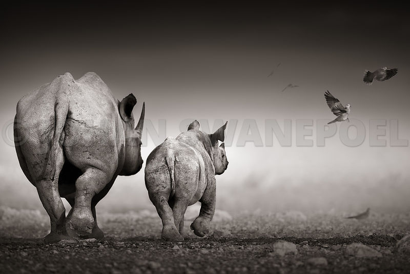 Black Rhino cow with calf
