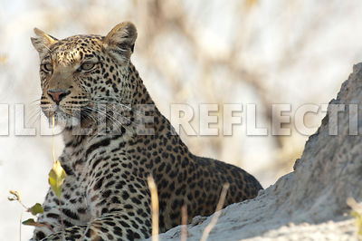 Leopard Watching for Prey