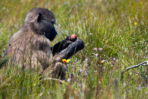 A chacma baboon mother from the Kanonkop troop eating corm of (Wachendorfia sp.), most probably (W. paniculata), Smitswinkel ...
