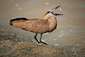 Hamerkop catching fish (Scopus umbretta), MalaMala Game Reserve, Greater Kruger National Park, South Africa