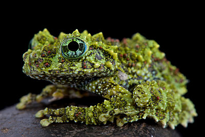 Mossy frog (Theloderma corticale) photos