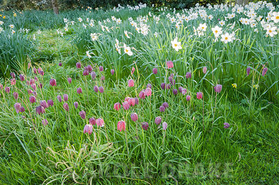Naturalized snakeshead fritillaries, Fritillaria meleagris, and pheasant's eye narcissi, Narcissus poeticus, in grass beside ...