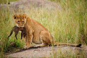 Lion cub with a banded mongoose kill (Panthero leo), Serengeti National Park, Tanzania